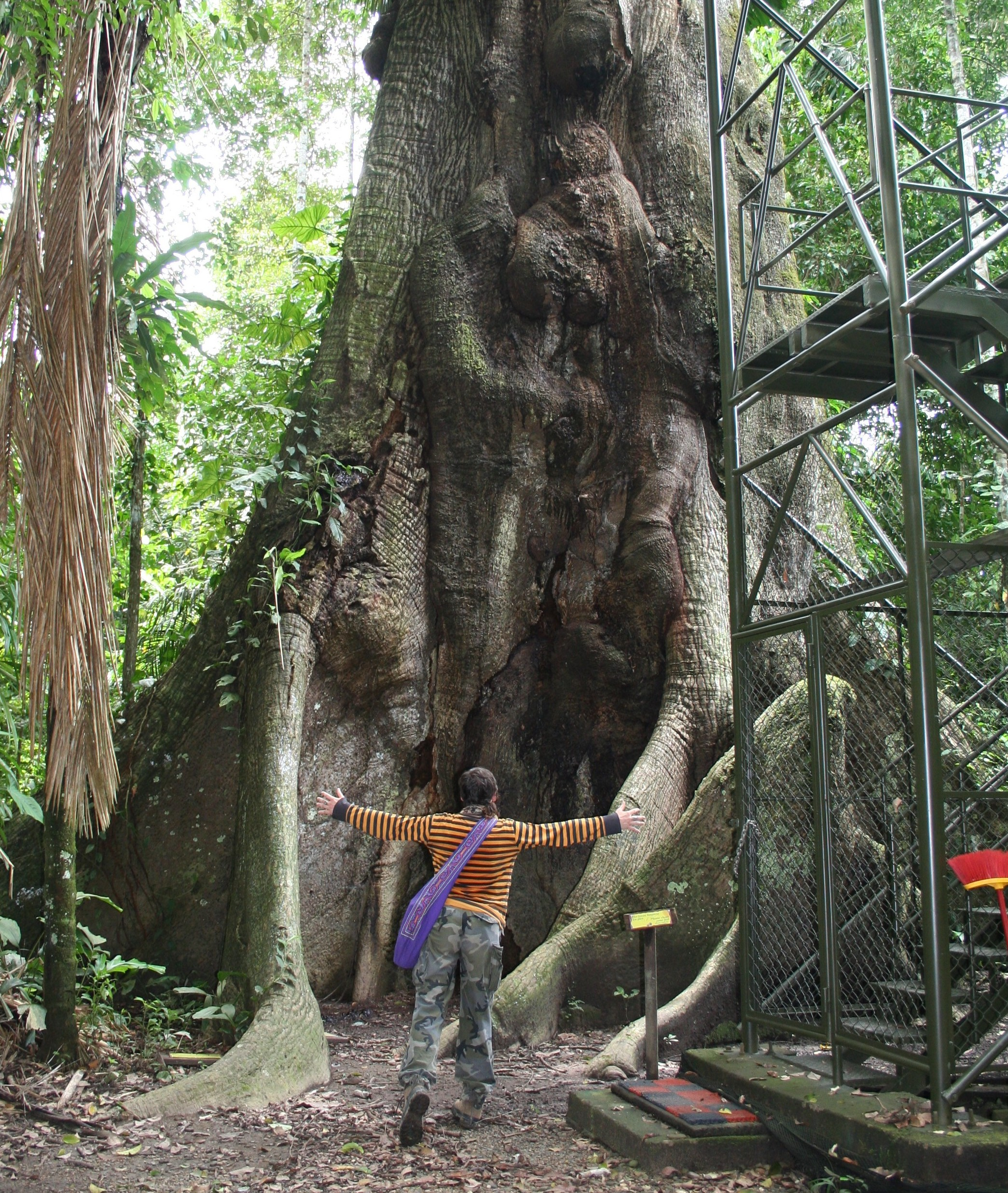 Or ceiba tree with a platform to climb up into the canopy this tree